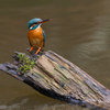 Emane jäälind / Female kingfisher