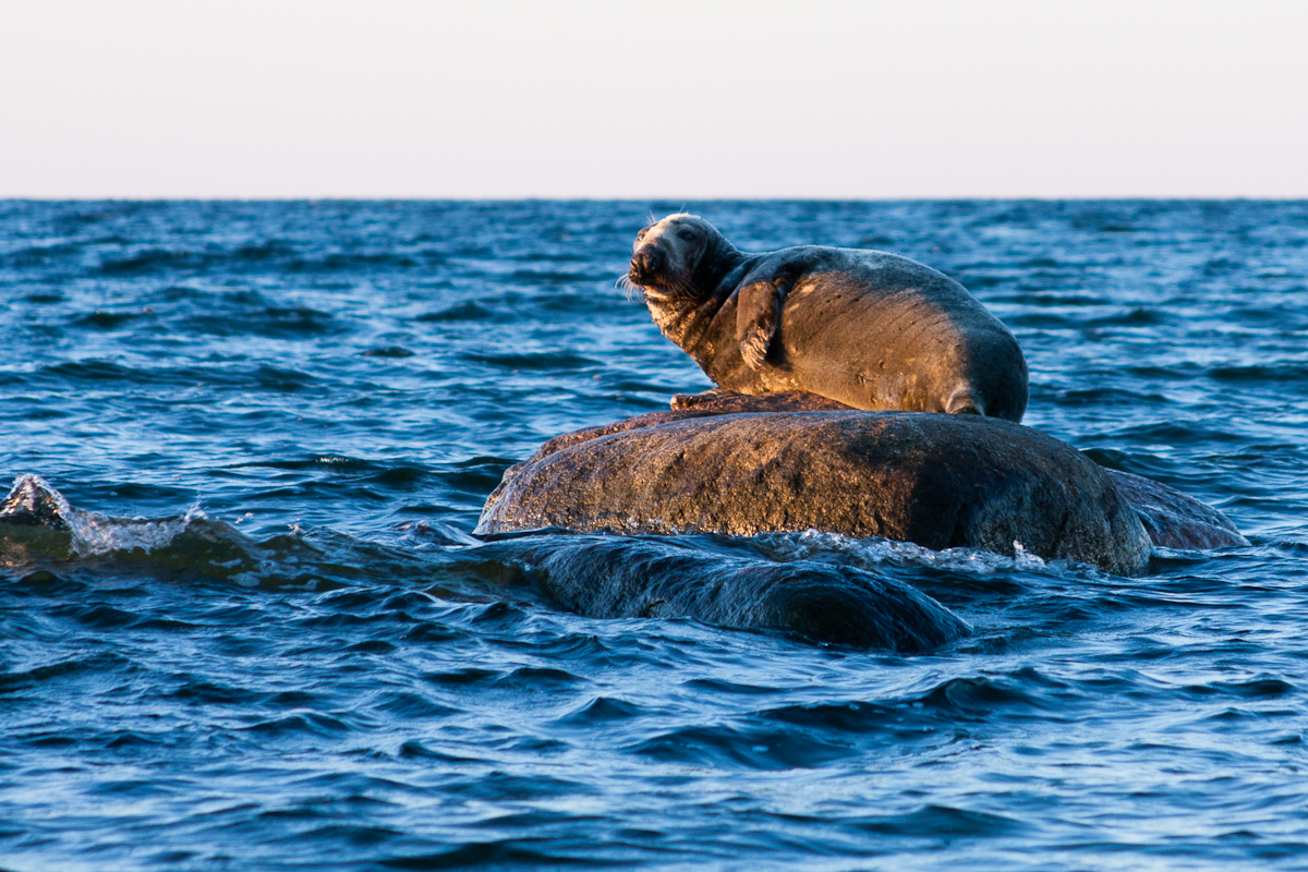 Halichoerus grypus Jaak Sarv animal canon eesti estonia europe grey seal hallhüljes hüljes loodus loom meri nature sea summer suvi wildlife
