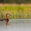 Hallpõsk-pütt / Red Necked Grebe