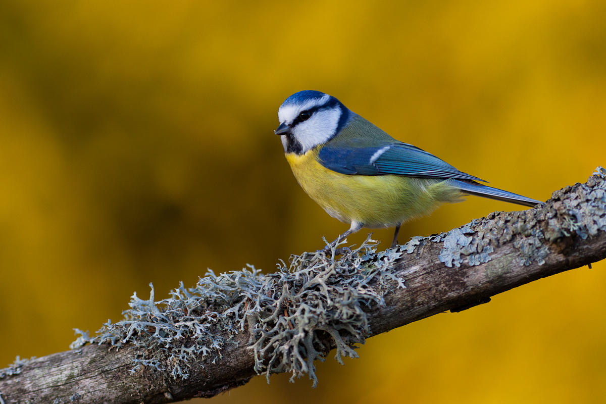 BLue tit Cyanistes caeruleus Jaak Sarv Sinitihane autumn bird canon eesti estonia europe evening forest lind loodus mets nature photography päikeseloojang sunset sügis wildlife õhtu