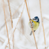 Sinitihane roostikus / Blue-Tit in the Reed