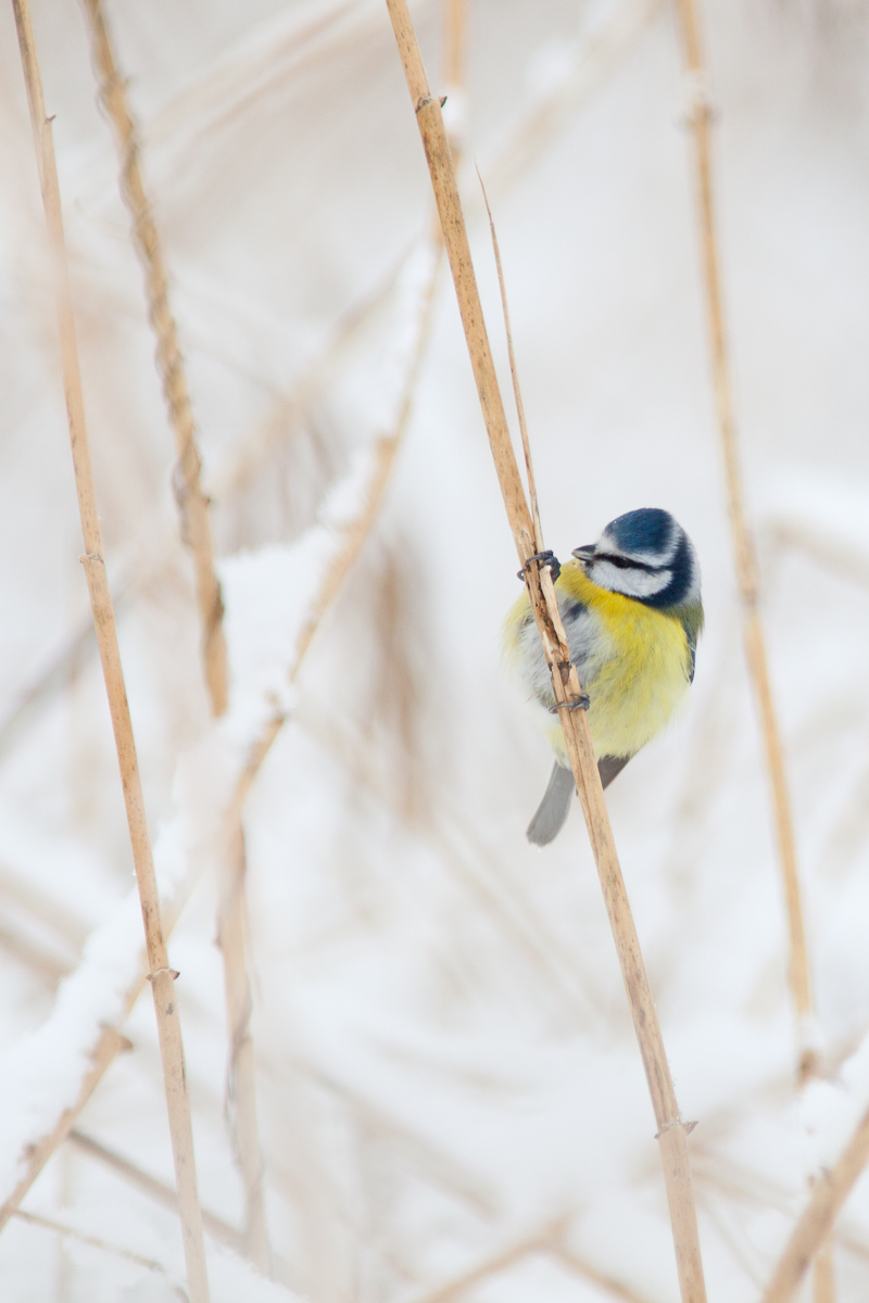 Blue tit Cyanistes caeruleus Jaak Sarv Sinitihane bird canon eesti estonia europe lind loodus lumi nature photography snow talv wildlife winter