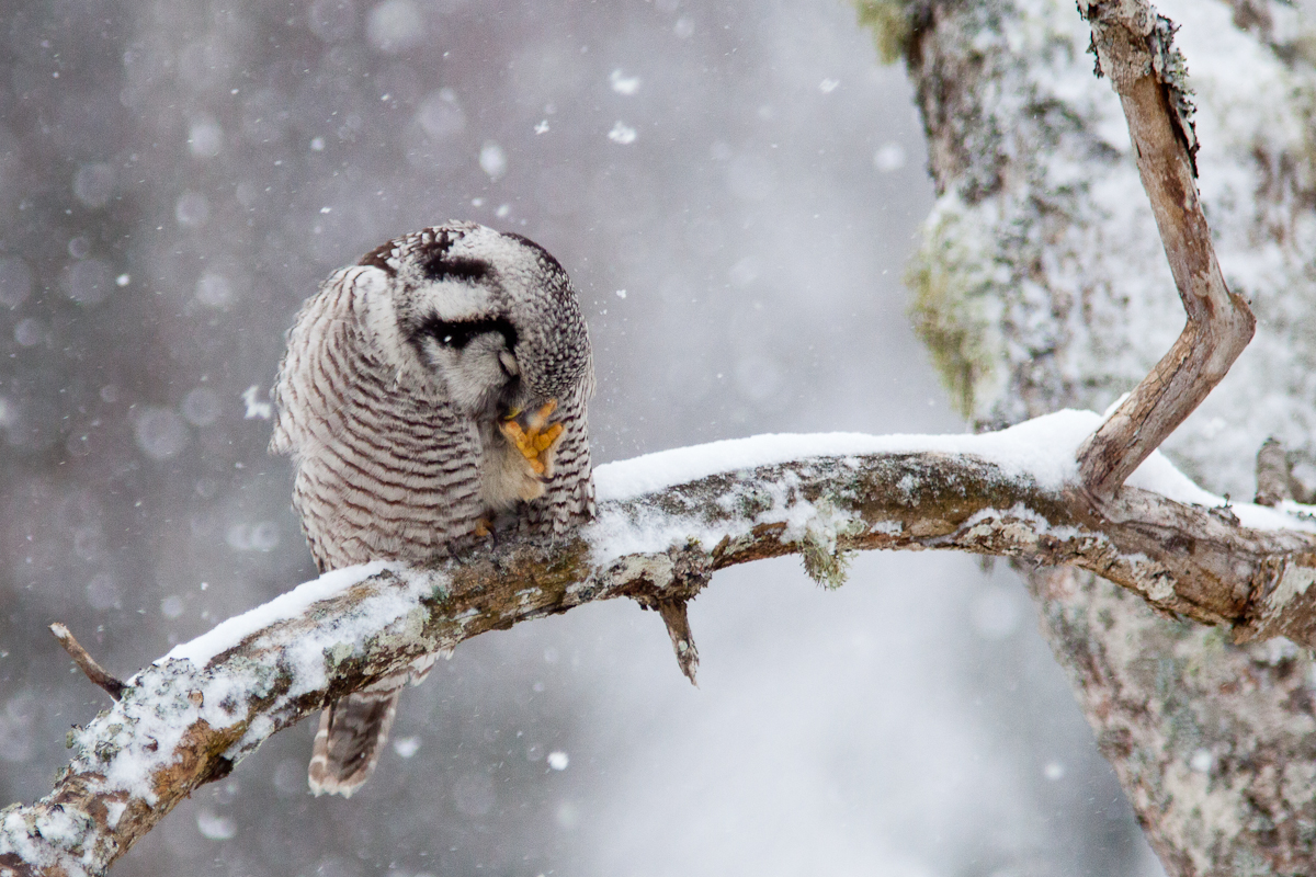 Jaak Sarv Northern Hawk-Owl Surnia ulula Vöötkakk bird canon eesti estonia europe lind lumi nature photography snow talv wildlife winter