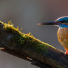 Jäälind mõnulemas hommikupäikese paistel / Kingfisher in the Morning Light