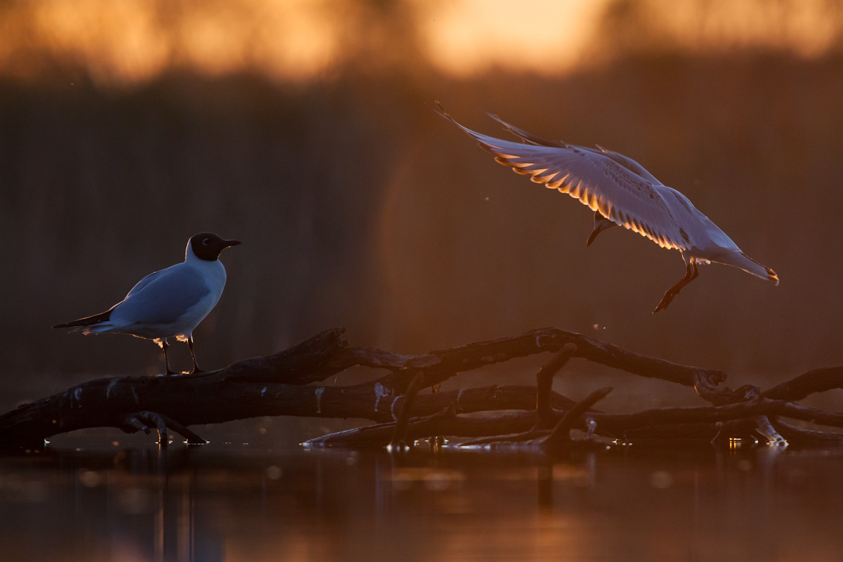 Black-headed Gull Jaak Sarv Larus ridibundus Naerukajakas bird canon eesti estonia europe evening kevad lind loodus nature photography päikeseloojang spring sunset wildlife õhtu