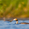 Tuttpütt kalaga / Great crested grebe with a fish