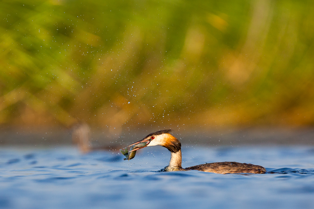 Great Crested Grebe Jaak Sarv Podiceps cristatus Tuttpütt bird canon eesti estonia europe hommik lind morning photography wildlife
