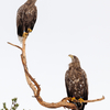 Kaks kotkast / Two Eagles