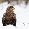 Merikotkas / White-tailed Eagle