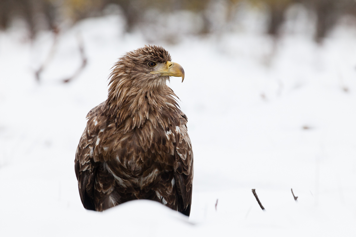 1 Üldine 2 Värvid 3 Asukoht 4 Aeg 5 Linnud 8 Loodusnähtused ja taevakehad Haliaeetus albicilla Jaak Sarv Merikotkas White-tailed Eagle bird canon eesti estonia europe lind loodus lumi nature photography snow talv valge white wildlife winter
