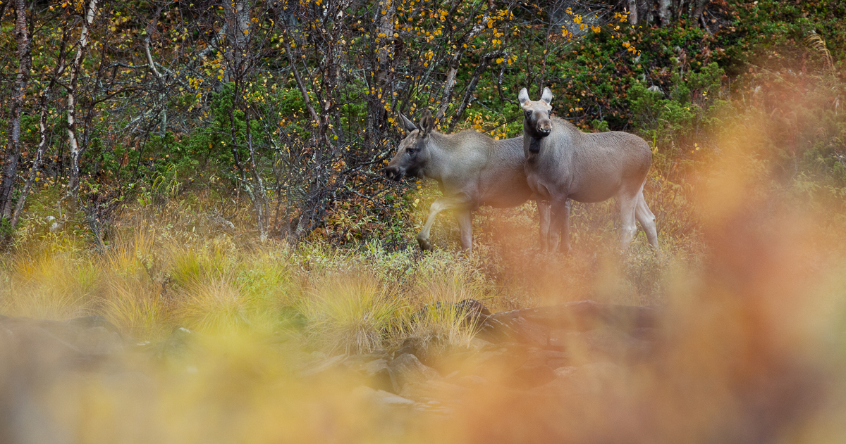 1 Üldine 2 Värvid 3 Asukoht 4 Aeg 6 Maastikuelemendid 7 Loomad Alces alces Eurasian elk Jaak Sarv Moose Põder Rootsi Sweden animal autumn canon forest golden kollane kuldne loodus loom mets nature orange oranž photography scandinavia sügis wildlife yellow