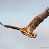 Lendav merikotkas / White-tailed Eagle Flying