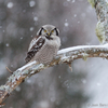 Vöötkakk lumesajus / Northern Hawk-Owl in the Snowfall