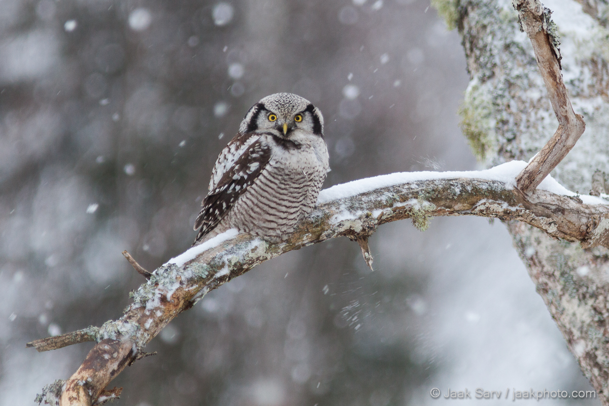 1 Üldine 3 Asukoht 4 Aeg 5 Linnud 8 Loodusnähtused ja taevakehad Canon Eesti Estonia Europe Jaak Sarv Northern Hawk-owl Surnia Ulula Vöötkakk bird lind loodus loodusfoto looduspilt lumi nature photography snow talv wildlife winter