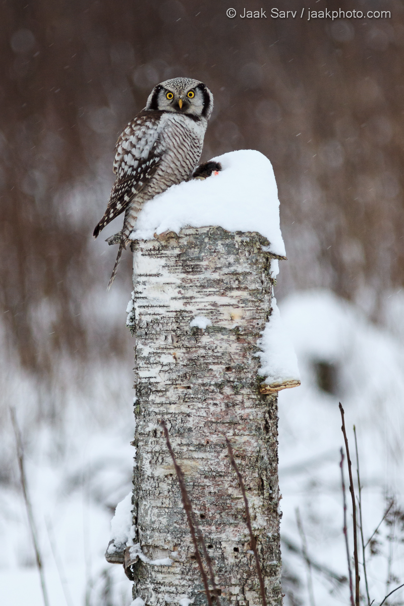 1 Üldine 2 Värvid 3 Asukoht 4 Aeg 5 Linnud 8 Loodusnähtused ja taevakehad Canon Eesti Estonia Europe Jaak Sarv Northern Hawk-owl Surnia Ulula Vöötkakk bird brown lind loodus loodusfoto looduspilt lumi nature photography pruun snow talv valge white wildlife winter