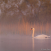 Luik udus / Swan in the Fog