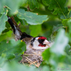 Ohakalind pesal / European Goldfinch Sitting on the Nest