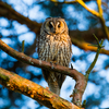 Hiirte hirm / Long-eared Owl