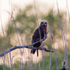 Roo-loorkull / Western marsh harrier