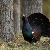 Metsis metsas / Wood Grouse in the Woods