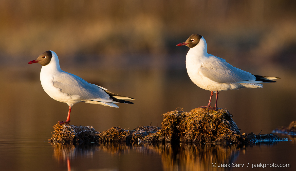 Baltics Black-headed Gull Canon Eesti Estonia Europe Jaak Sarv Larus ridibundus Naerukajakas bird black brown hommik kevad lind loodus loodusfoto looduspilt morning must nature nordic northern photography pruun spring valge white wildlife