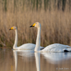 Laululuiged / Whooper Swans