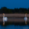 Laululuiged hämarikus / Whooper Swans in the Dusk