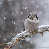 Vöötkakk lumisel oksal / Northern Hawk-owl on a Snowy Branch