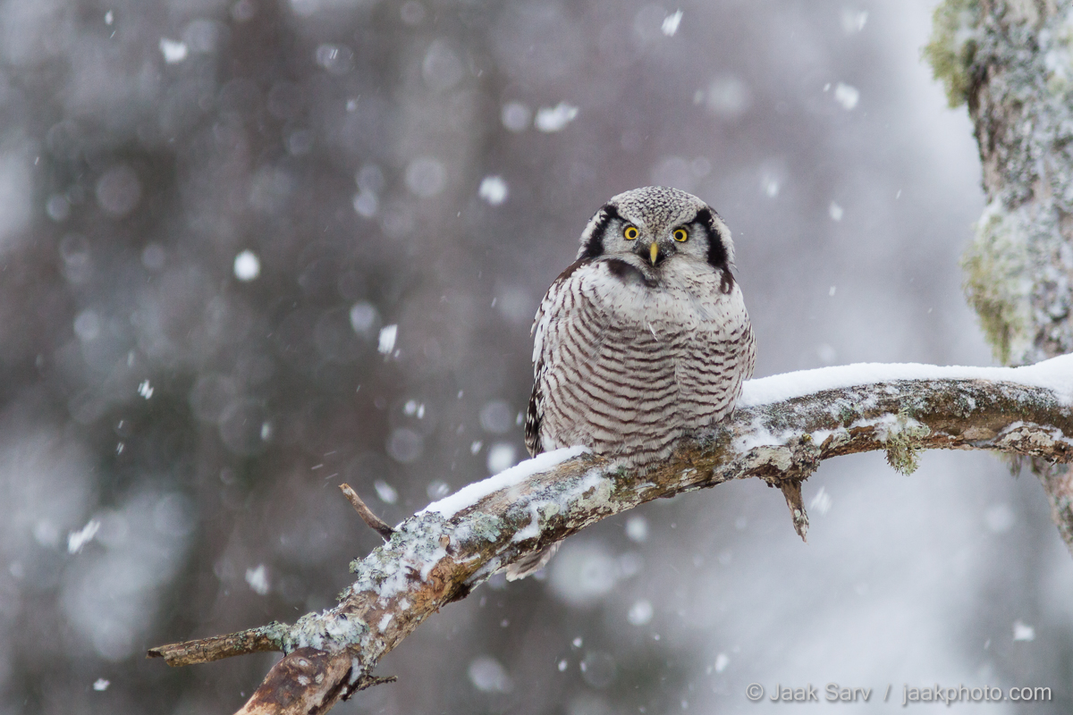 Baltics Canon Eesti Estonia Europe Jaak Sarv Northern Hawk-owl Surnia Ulula Vöötkakk beautiful brown cold freezing gray hall ilus karge kollane külm loodus loodusfoto looduspilt lumi nature nordic northern photography pruun snow talv wildlife winter yellow