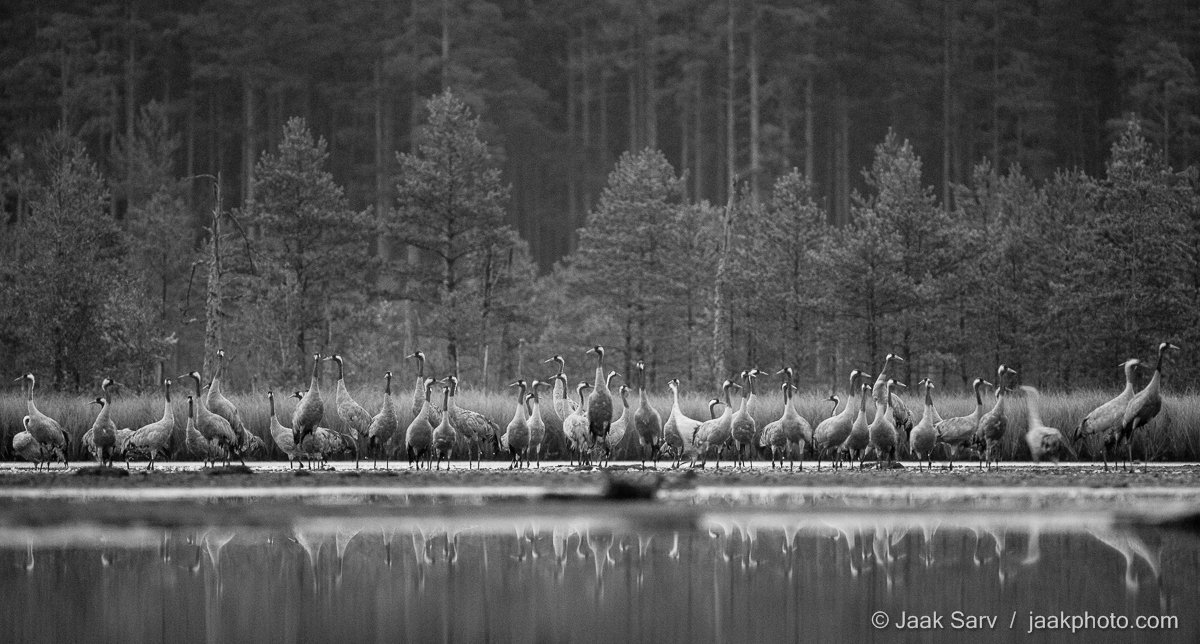 Baltics Canon Common Crane Eesti Estonia Eurasian Crane Europe Grus grus Jaak Sarv Sookurg autumn black black and white bog bog pool forest gray hall hommik järv lake landscape laugas loodus loodusfoto looduspilt maastik mets mirror morning must mustvalge nature nordic northern peegeldus photography puud raba rabalaugas reflection soo summer suvi swamp sügis trees valge vesi water white wildlife