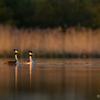 Õhtused tuttpütid / Great Crested Grebes in the Evening