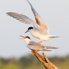 Noored jõgitiirud mänguhoos / Young Common Terns Playing