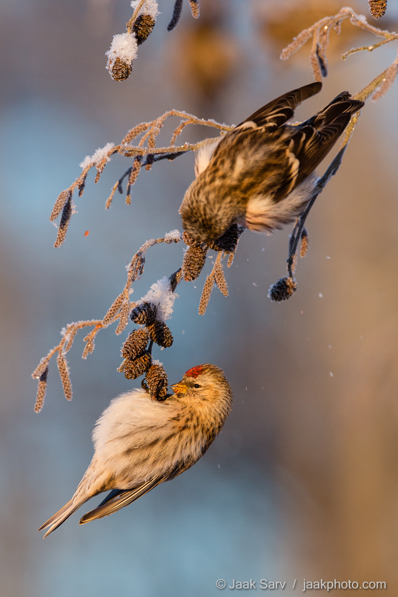 Baltics Canon Carduelis flammea Common Redpoll Eesti Estonia Europe Jaak Sarv Urvalind blue brown colorful frost frost snow gray hall hommik härmatis loodus loodusfoto looduspilt lumi morning nature nordic northern photography pruun päikesetõus sinine snow sunrise talv värviline wildlife winter