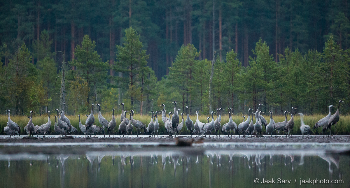 Baltics Canon Common Crane Eesti Estonia Eurasian Crane Europe Grus grus Jaak Sarv Sookurg autumn bird black bog bog pool brown colorful forest gray green hall hommik landscape laugas lind loodus loodusfoto looduspilt maastik mets mirror morning must nature nordic northern peegeldus photography pruun puud raba rabalaugas reflection roheline soo summer suvi swamp sügis trees vesi värviline water wildlife