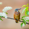 Jäälinnuemand toomingaoksal / Kingfisher Lady on Bird Cherry T
