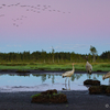 Õhtune idüll kuresoos / Idyllic Evening in a Crane Swamp