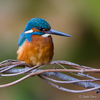 Jäälind krussis oksal / Kingfisher on a Curly Branch