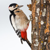 Koduaia rähn / Great spotted woodpecker