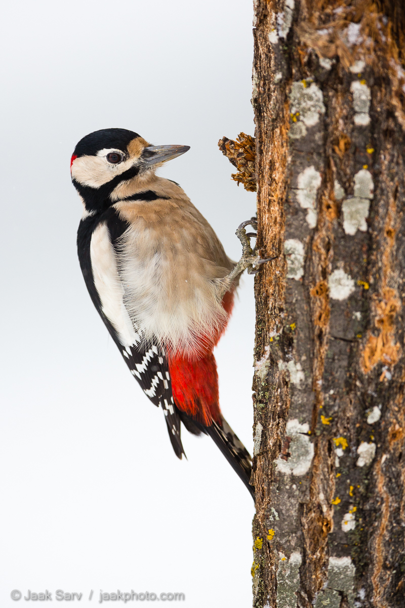 Canon Dendrocopos major Great spotted woodpecker Jaak Sarv Suur-kirjurähn beautiful bird black cold colorful freezing ilus karge külm lind loodus loodusfoto looduspilt lumi must nature photography punane puud red snow talv trees valge värviline white wildlife winter