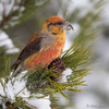 Kuuse-käbilind / Red crossbill