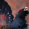 Metsis / Western capercaillie